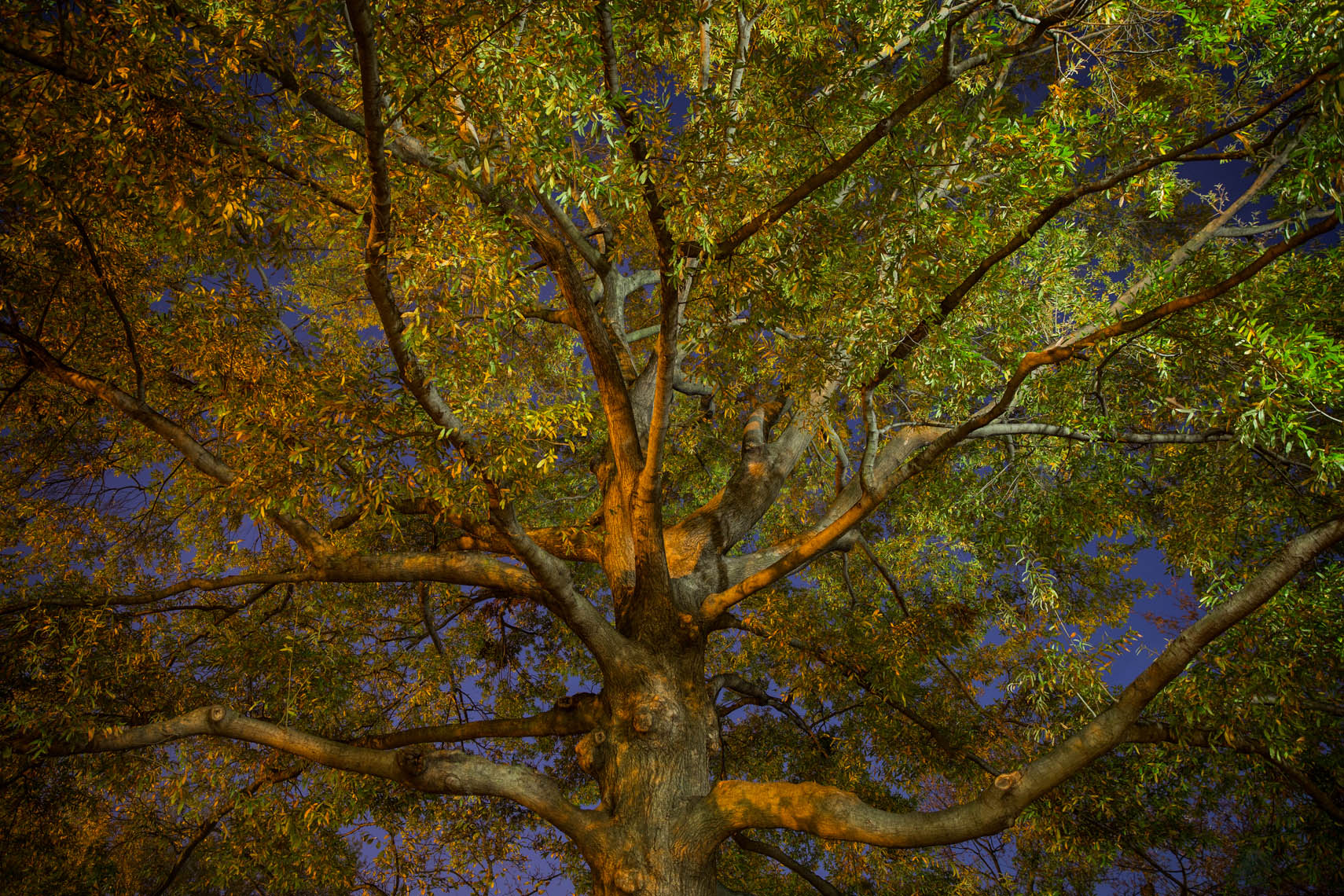 Night Trees DC-19